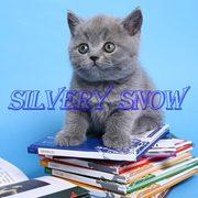 Британские элитные котята с доставкой (Москва)