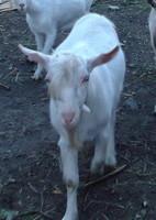 Продаётся чистопородный зааненский козёл