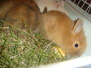 Карликовые кролики срочно