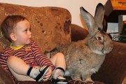 кролики бельгийский великан (ФЛАНДР)