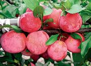 Продам саженцы вишни,  малины,  клубники,  яблок и т.д