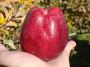 Саженцы яблони оптом от 550 тенге Алматы
