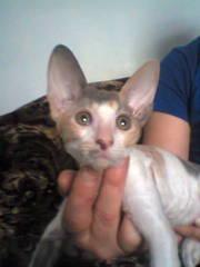 Корниш рекс - Королевская Кудрявая Кошка