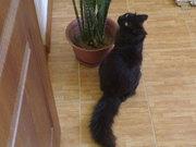 Отдается черный пушистый кот в добрые руки