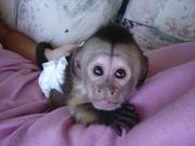 Мальчик и девочка обезьян-капуцинов