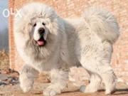 Продаются щенята,  порода Тибетский Мастиф,  3 месяца,  торг уместен!!!!!