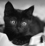 котята 1, 5 мес черный,  полосатый