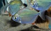 Рыбы метинисы