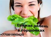 Продам свежие салаты и пряные травы в горшочках