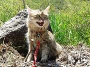 отдам в добрые руки сибирскую кошку