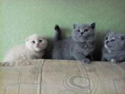 Котята шотландские и британские
