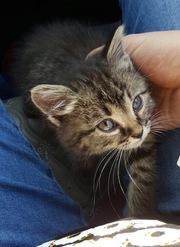 Котенок - Девочка в Добрые руки!