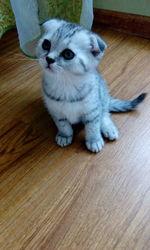 продам котенка скоттиш фолд ( шотландская вислоухая)