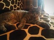 Отдаётся в добрые руки очень интеллигентный молодой кот Серик.