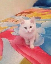 Белоснежный котенок в дар.