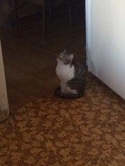 Отдам кошку в частный дом