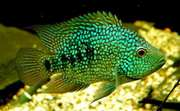 Аквариумная рыбка -Цихлазома Бриллиантовая