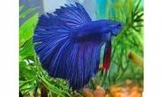 Аквариумная рыбка- Петушок