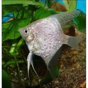 Аквариумная рыбка-Скалярия