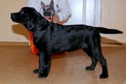 Черный щенок лабрадора-девочка с отличной родословной