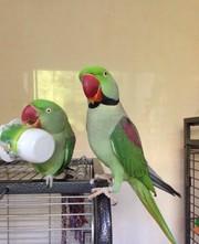 Продам пару александрийских попугаев