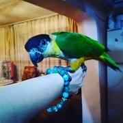 Ручной попугай каик. Черноголовый ручной попугай