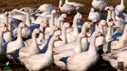 Поставляет мясо гуся и утки