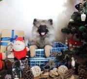 Продам щенков Вольфшпиц (кеесхонд)