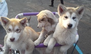 Щенки Аляскинского Маламута для семьи и детей
