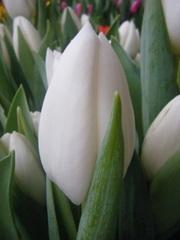Тюльпаны к 8 марта оптом и в розницу