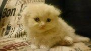 Продам котят породы Шотландская вислоухая