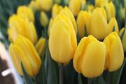 ТЮЛЬПАНЫ-- на 8 марта!!! Оптом - Цветы