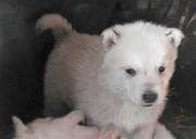 Продам щенков западно-сибирской лайки за 27 тысяч тенге