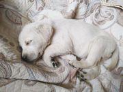Срочно продается щенок породы лабрадора-ретривера