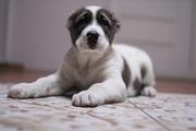 Крупный алиментный щенок алабая САО