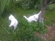 Котята белого цвета