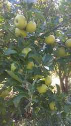 Яблоки оптом из Алматы