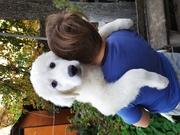 Продажа щенков мареммо-абруцкой итальянской овчарки