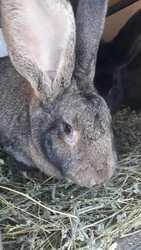 Продам породистых кроликов.